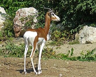 Dama gazelle - Image: Mhorr Gazelle, Zoo, Budapest