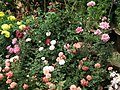 Miniature rose from Lalbagh flower show Aug 2013 8553.JPG