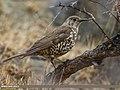 Mistle Thrush (Turdus viscivorus) (34447625441).jpg