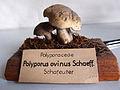 Modell von Polyporus ovinus (Albatrellus ovinus, Schafporling oder Schafeuter).jpg