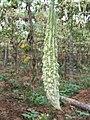 Momordica charantia - Bitter melon at Wayanad (6).jpg