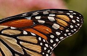 Monarch Butterfly Danaus plexippus Wing 2800px.jpg