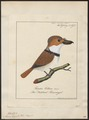 Monasa torquata - 1700-1880 - Print - Iconographia Zoologica - Special Collections University of Amsterdam - UBA01 IZ16800011.tif