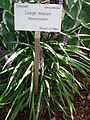 Moneymaker Liriope muscari.JPG