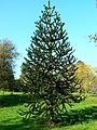 Monkey puzzle tree, The Lawn, Swindon - geograph.org.uk - 592647.jpg
