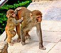 Monkeys at swayambhunath.jpg