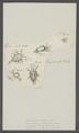 Monoculus thyas - - Print - Iconographia Zoologica - Special Collections University of Amsterdam - UBAINV0274 100 01 0006.tif