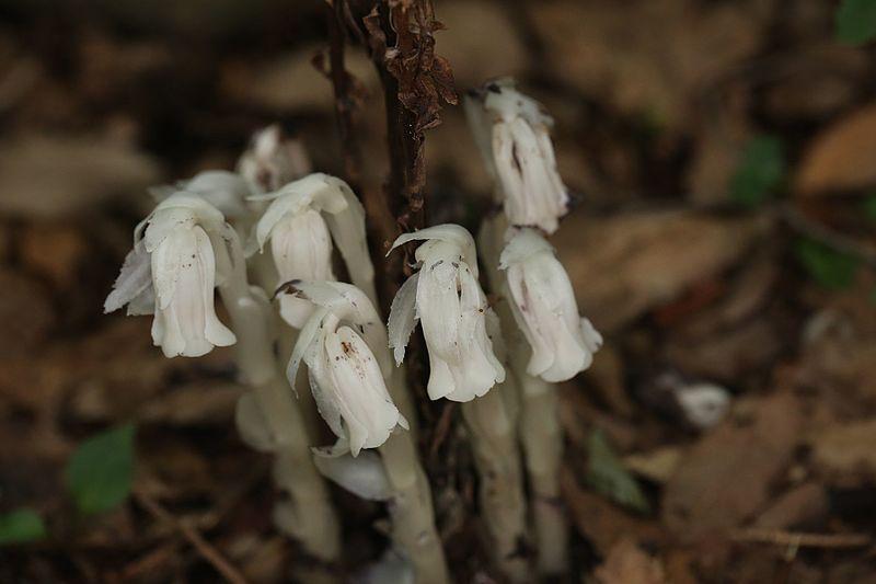 File:Monotropa uniflora 2.jpg