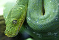 Morelia viridis 7.jpg