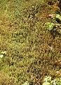 Mosses (30855529204).jpg