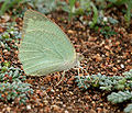 Mottled Emigrant (Catopsilia pyranthe) on Coldenia procumbens W IMG 0131.jpg
