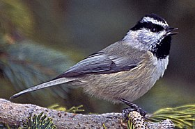 Mountain Chickadee, Santa Fe Ski Area (cropped).jpg