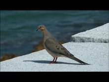 ملف:Mourning Dove on seawall.ogv