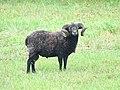 Mouton (17).jpg