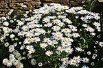 Muckle daisies IMG 1771 (9487428030).jpg