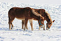Mules leisurely enjoying the sun and the snow.jpg