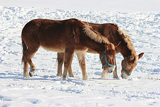 Mule - Mules come in a variety of colors and sizes; these mules had a draft horse mare for a mother