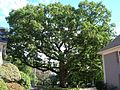 Mullikan Oak Tree - Lexington, MA - September 2012.jpg