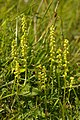 Musk Orchids (Herminium monorchis) - geograph.org.uk - 863976.jpg