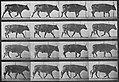 Muybridge, Eadweard - Gehender Ochse (0.56 Sekunden) (Zeno Fotografie).jpg