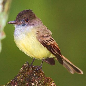 Tyranni - Dusky-capped flycatcher (Myiarchus tuberculifer)