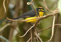 Myioborus melanocephalus -Ecuador-8