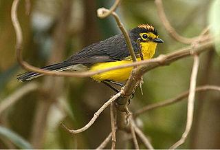 Spectacled whitestart species of bird