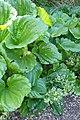 Myosotidium hortensia kz02.jpg