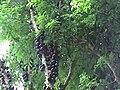 Myrciaria cauliflora2.jpg