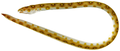 Myrichthys ocellatus - pone.0010676.g017.png