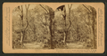 Myrtle Avenue, Fort George Island, from Robert N. Dennis collection of stereoscopic views.png