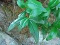 Myrtus communis.001 - Monfrague.jpg