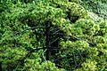 Mystic pine.jpg
