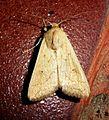 Mythimna vitellina. Delicate. - Flickr - gailhampshire (1).jpg