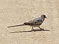 Namaqua Dove male RWD.jpg