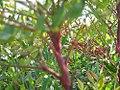 Nandina domestica Plum Passion 1zz.jpg