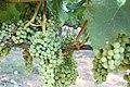 Napa Grapes - 4896595164.jpg