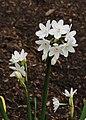 Narcissus papyraceus 'Paperwhite' 03.JPG