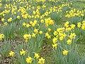 Narcissus pseudonarcissusKew4.jpg