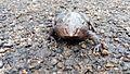Nasikabatrachus sahyadrensis (Purple frog) from Vagamon, Kerala (9).jpg