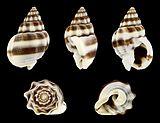 Nassarius jacksonianus 01.JPG