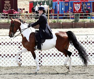Crossbreed - The National Show Horse was developed from crossbreeding programs in the 1970s and 1980s that blended Arabian horse and American Saddlebred bloodlines
