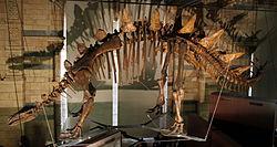 Natural History Museum Tuojiangosaurus.jpg