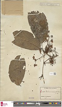 Naturalis Biodiversity Center - L.1974672 - Oddoniodendron micranthum (Harms) Baker f. - Leguminosae-Caes. - Plant type specimen.jpeg