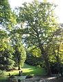 Naturdenkmal 620 2011-09-23 P9230013 Wien19 Max-Patat-Weg BaumB GuentherZ.JPG