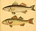 Naturgeschichte in Bildern mit erläuterndem Text (Taf. C) (6059222542).jpg