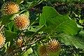 Nauclea orientalis 031208-3067.jpg