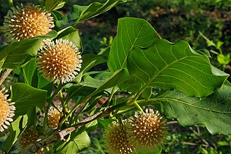 Nauclea orientalis - The spherical inflorescence of Leichhardt trees.