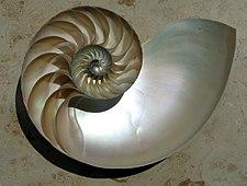 The iridescent nacre of a Nautilus