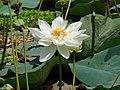 Nelumbo nucifera (white flower) Md Sharif Hossain Sourav.jpg